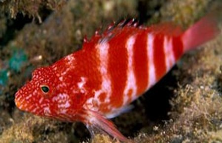 The marine compatibility guide for Red saltwater fish
