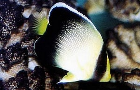 Pakistan butterflyfish and xanthurus cream angelfish for Fish compatible with angelfish