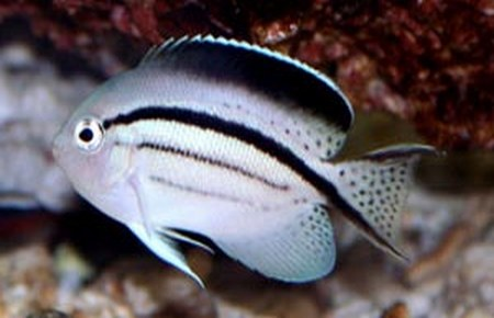 Genicanthus lamarck lamarck 39 s angelfish for Fish compatible with angelfish