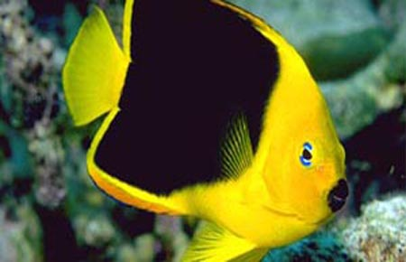 Lemon butterflyfish and rock beauty angelfish compatibility for Fish compatible with angelfish
