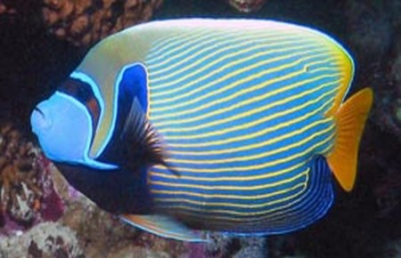 Emperor angelfish and regal angelfish compatibility for Fish compatible with angelfish
