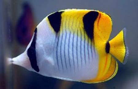 Emperor angelfish and falcula butterflyfish for Fish compatible with angelfish