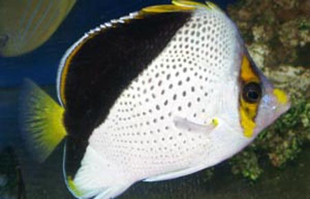 Tinkerii butterflyfish and potter 39 s angelfish compatibility for Fish compatible with angelfish