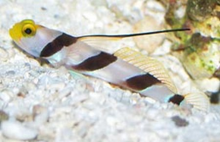 Banded Watchman Goby Diamond Watchman Goby And hi