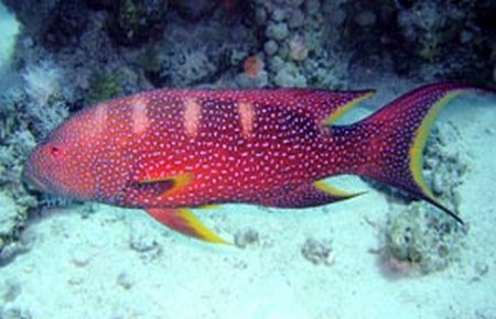 Panther Grouper | Panther Grouper And Red Louti Grouper Compatibility