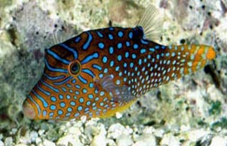 Canthigaster solandri and Canthigaster valentini - Compatibility
