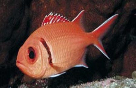 Myripristis sp and chaetodon mitratus compatibility for Big eye squirrel fish