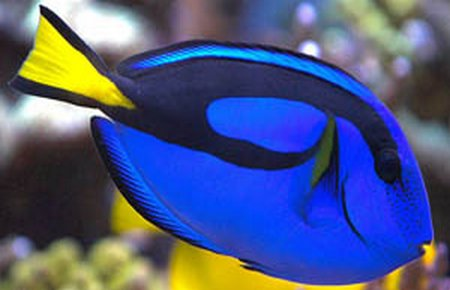 Blue tang and kole yellow eye tang compatibility for Blue clown fish