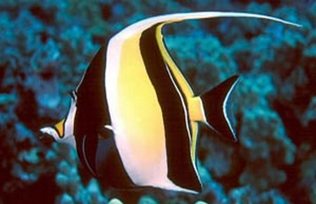 Zanclus Canescens Moorish Idol